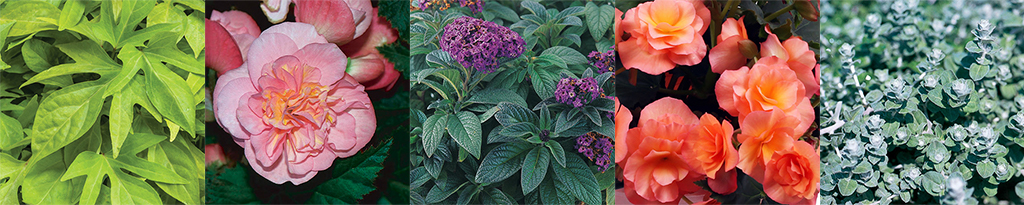 home-outside-planter-design-container-planting-seasonal-pot-part-sun-proven-winners-begonia-heliotrope-licorice-ipomoea
